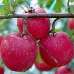การปลูกแอปเปิ้ลในไทย