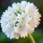 ดอกไม้สวยๆ อวยพรวันเกิด แบบที่ (34)