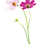 ดอกไม้สวยๆ อวยพรวันเกิด แบบที่ (48)