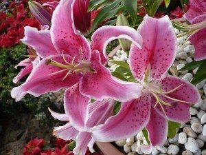 ดอกลิลลี่สีชมพู